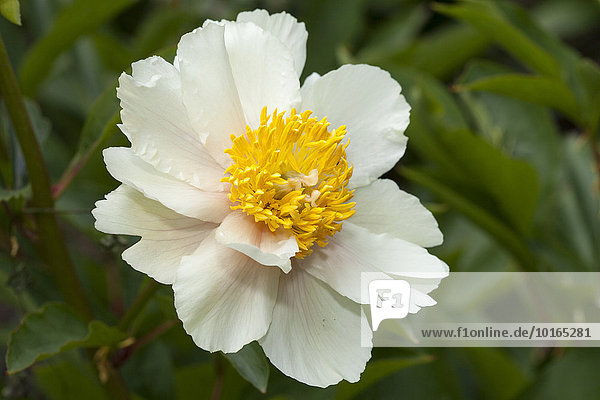 Flower  peony  (Paeonia)  North Rhine-Westphalia  Germany  Europe