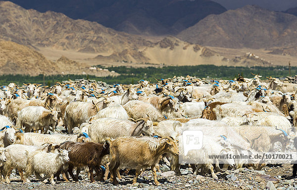 A flock of goat and sheep is grazing on a hill above the Indus Valley  Stock  Jammu and Kashmir  India  Asia