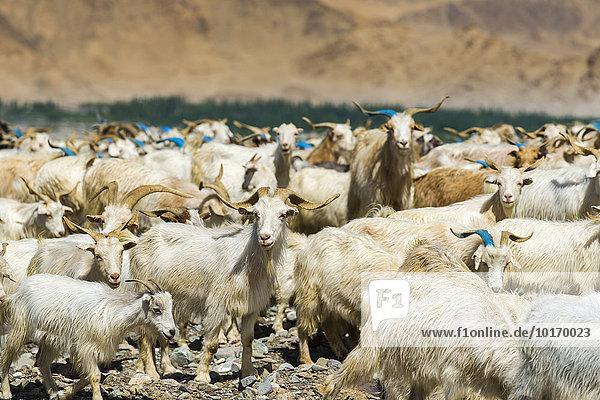 Eine Herde von Ziegen und Schafen weidet auf einem Hügel über dem Indus-Tal  Stok  Jammu und Kaschmir  Indien  Asien