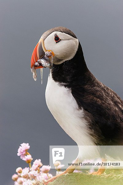 Europa Papageitaucher Fratercula arctica Schottland Shetlandinseln