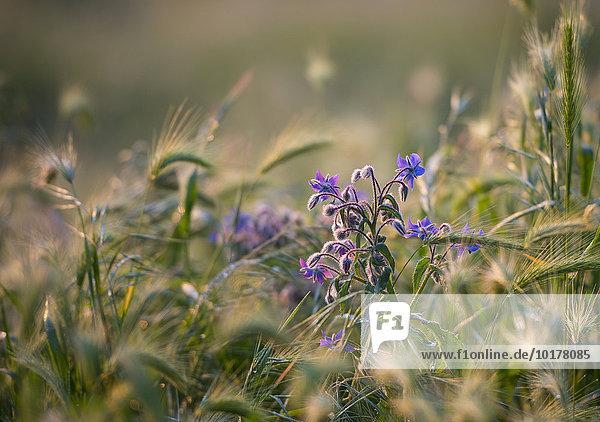 Borretsch (Borago officinalis) in einem Feld  Italien  Europa