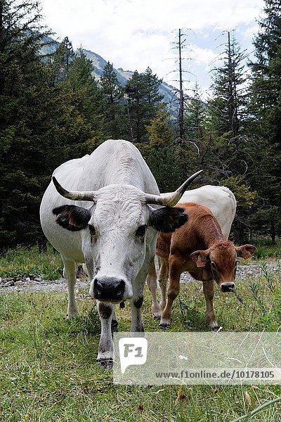 Hausrind Hausrinder Kuh Frankreich Europa Holz Kalb Kuh