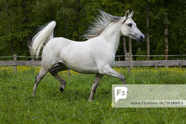Thoroughbred Arabian horse  white  trotting in a meadow