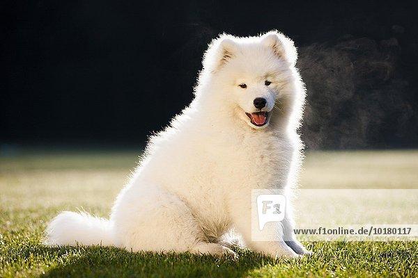 Samoyed dog  puppy  sitting in the grass