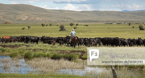 Cowboy moving cattle through a pasture on a ranch  Walden  Colorado  USA  North America