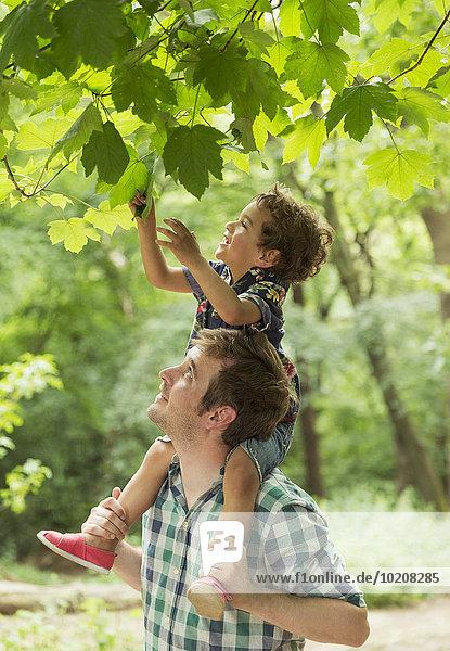 Vater trägt den Sohn auf den Schultern und greift nach Baumblättern.