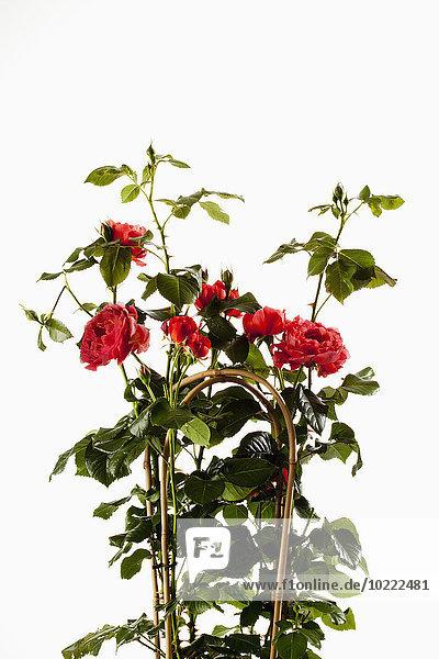 Rambler Rose  Rosa  mit Kletterhilfe