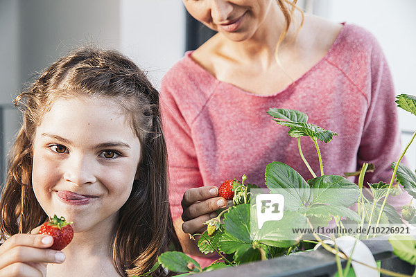 Porträt eines kleinen Mädchens  das Erdbeeren vom Balkon pflückt.