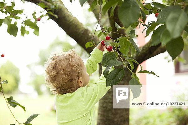 Kleines Mädchen pflückt Kirsche vom Baum