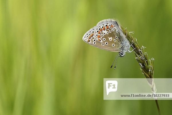 Gewöhnlicher blauer Schmetterling  der mit dem Kopf zuerst am Grashalm hängt