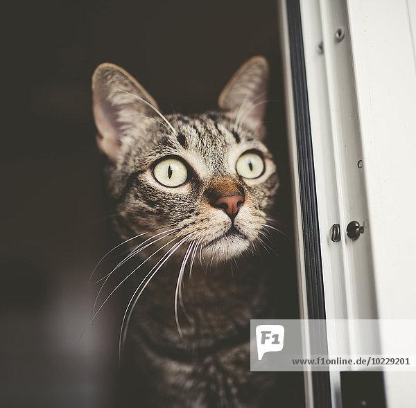 Porträt der gestreiften Katze beim Spähen Porträt der gestreiften Katze beim Spähen
