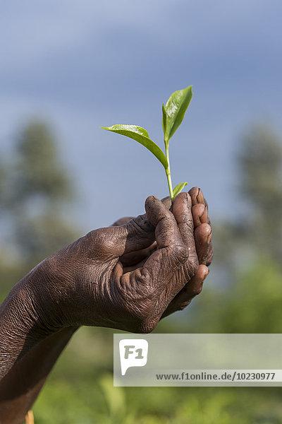 Sri Lanka  Hände mit Teeblättern