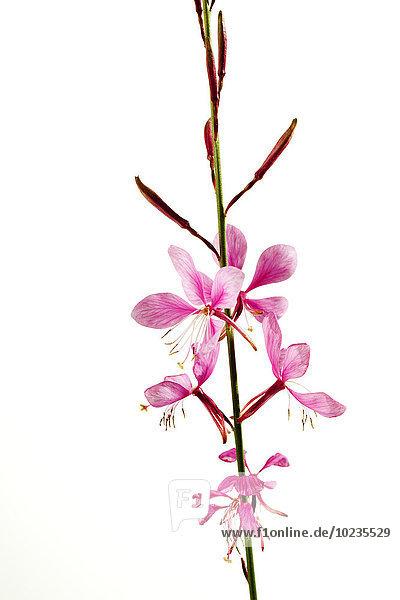 Lindheimer Bienenblüte  Gaura lindheimeri