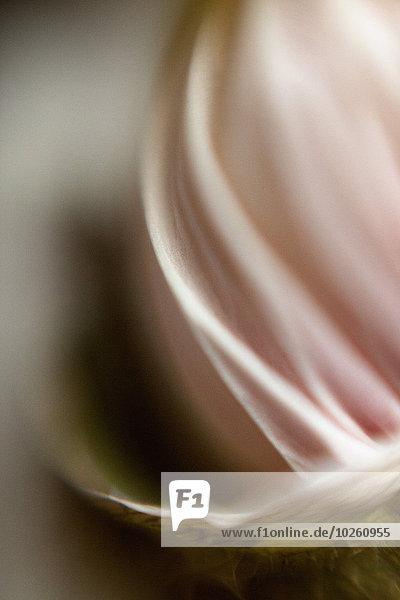 Extreme Nahaufnahme des rosa Blütenblattes