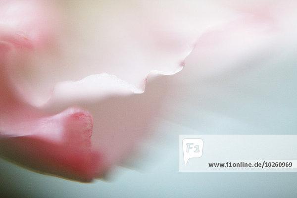 Makroaufnahme eines rosa Blütenblattes