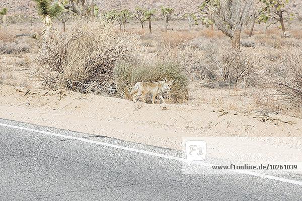 Fuchs auf der Straße in der Wüste