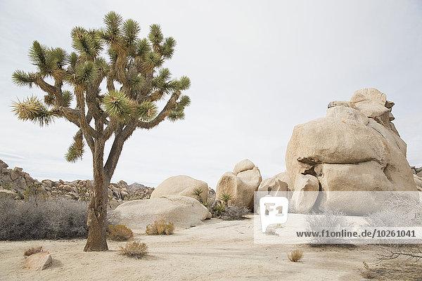 Joshua-Baum wächst an Felsen in der Wüste gegen den Himmel