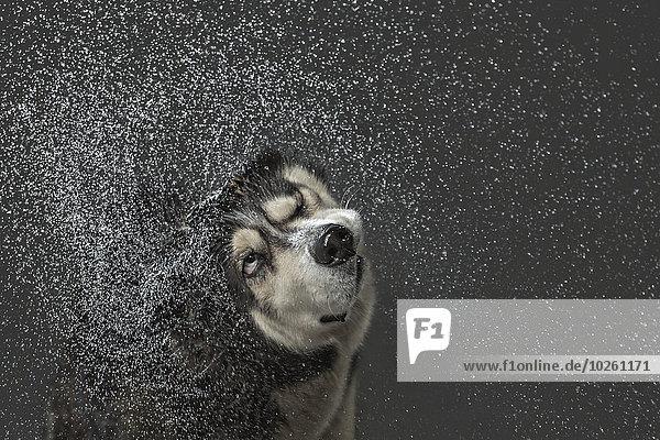Siberian Husky beim Abschütteln von Wasser über grauem Hintergrund