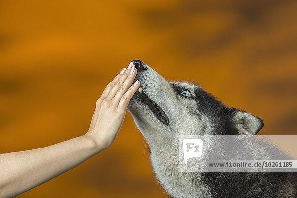 Nahaufnahme der Hand  die den Mund des Siberian Husky über dem farbigen Hintergrund berührt.