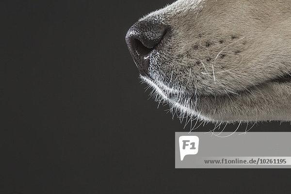 Beschnittenes Bild von Siberian Husky über grauem Hintergrund