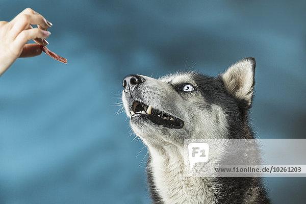 Nahaufnahme einer Frau  die Siberian Husky über farbigem Hintergrund füttert.