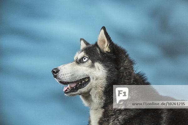 Siberian Husky schaut weg über den blauen Hintergrund
