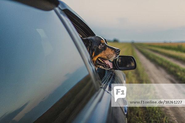 Border Collie mit Blick durch das Autofenster