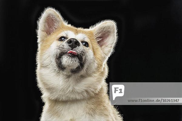 Blick auf den japanischen Akita  der die Zunge über den schwarzen Hintergrund ragt.