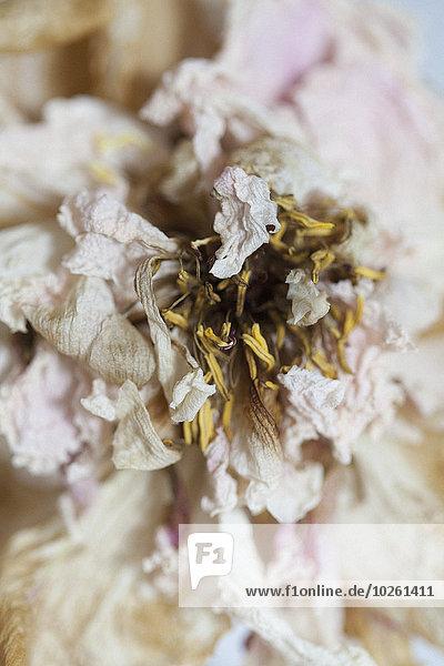Nahaufnahme der Trockenblume