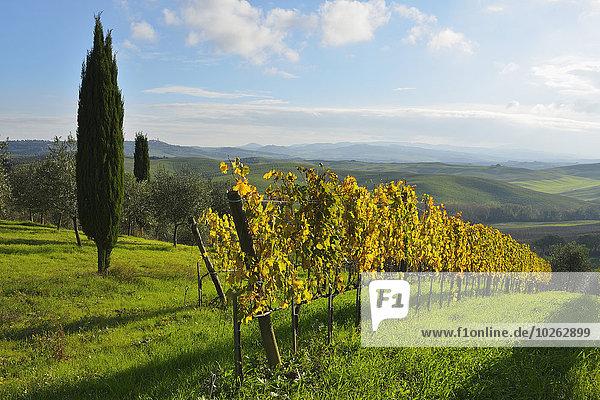 Ländliches Motiv ländliche Motive Baum Herbst Italien Toskana Val d'Orcia Weinberg San Quirico d'Orcia