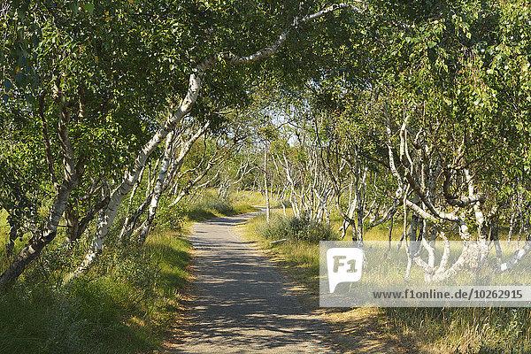 Path through Birch Forest  Summer  Norderney  East Frisia Island  North Sea  Lower Saxony  Germany