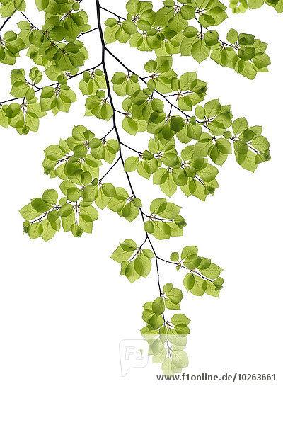 Frische Baum weiß Hintergrund Ast Buche Buchen Laub