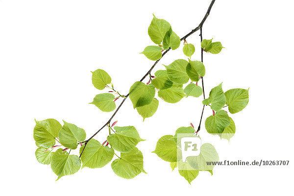 Baum weiß Hintergrund Limette