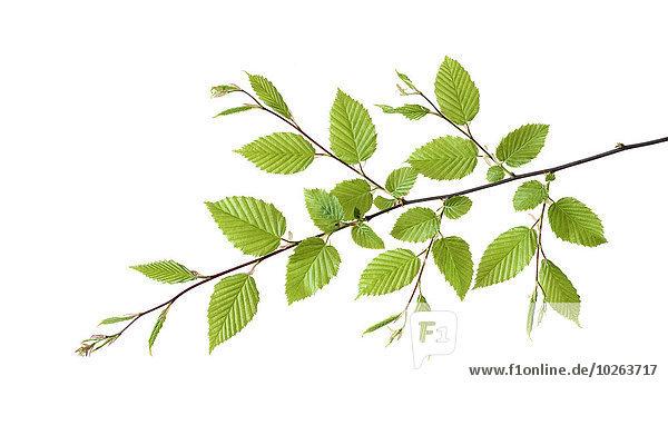 Hainbuche Carpinus betulus Frische europäisch weiß Hintergrund Ast Laub