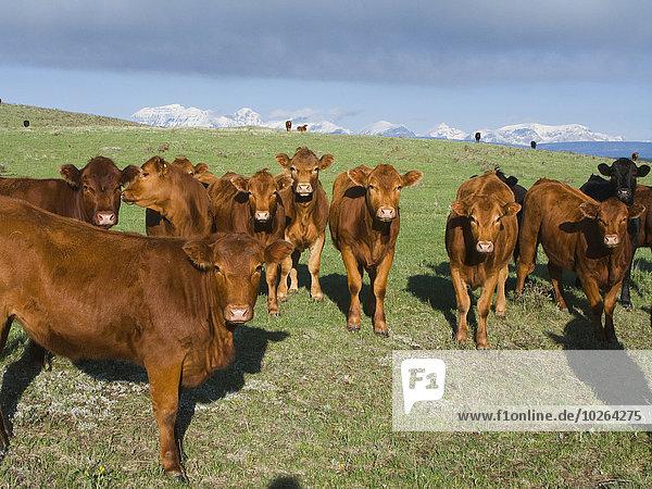 entfernt Berg Felsen grün schwarz rot Wiese 1 bedecken Alberta Rindfleisch Rind Kanada vieh Schnee