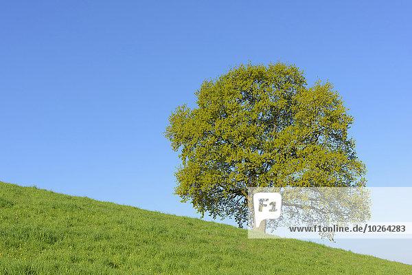 Baum Hügel früh Eiche Deutschland Hessen alt