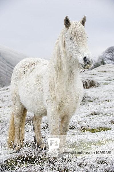 Islandpony Kleine Menschengruppe Kleine Menschengruppen Winter Großbritannien Stärke fallen fallend fällt weiß Ethnisches Erscheinungsbild braun Cumbria England vieh