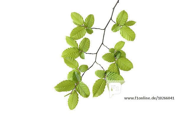 Hainbuche Carpinus betulus Studioaufnahme europäisch weiß Hintergrund Ast