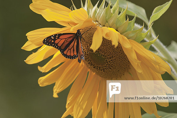 Monarch Butterfly On Large Sunflower  Ontario