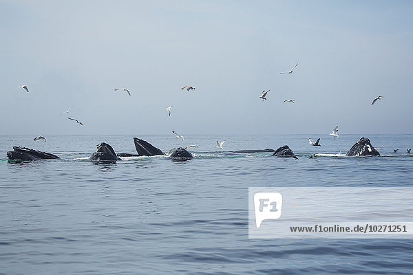 Bodenhöhe Wasser Amerika Vogel Wal Verbindung Vogelschwarm Vogelschar Massachusetts