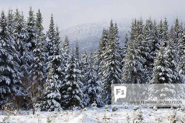 'Snow covered evergreen trees; Bromont  Quebec  Canada'