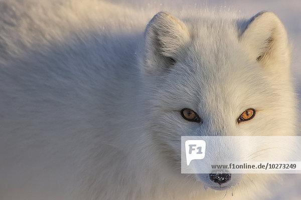 Schneehuhn blicken Fotograf Arktis Fuchs Manitoba