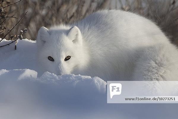 Schneehuhn blicken graben gräbt grabend Fotograf Arktis Fuchs Manitoba Schnee