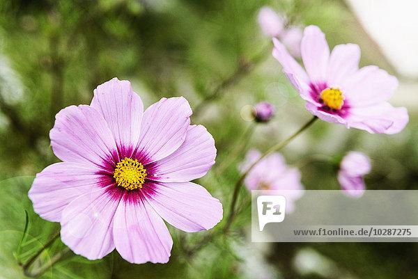 Close-up of Garden cosmos (Cosmos bipinnatus) flowers  Nepal