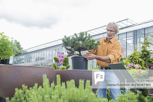 Mature man buying potted plant from plant Nursery  Augsburg  Bavaria  Germany