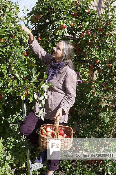 Schweden  Vastergotland  Tarby  Seniorin beim Äpfelpflücken im Obstgarten