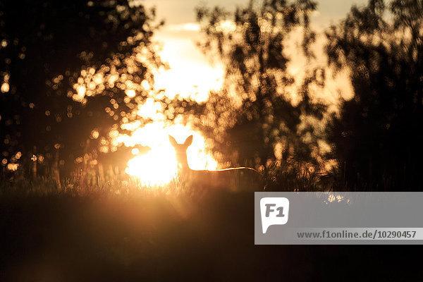 Schweden  Narke  Trantorp  Silhouette des Rehs bei Sonnenuntergang
