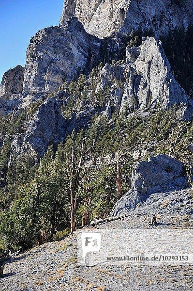 Junge Frau beim Wandern  Mount Charleston Wilderness Trail  Nevada  USA