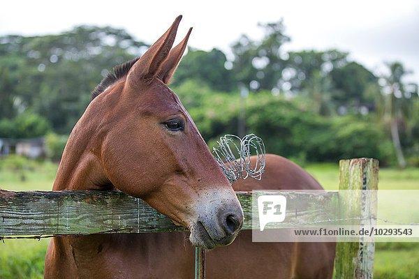Porträt eines Pferdes  Blick über den Zaun  Nahaufnahme