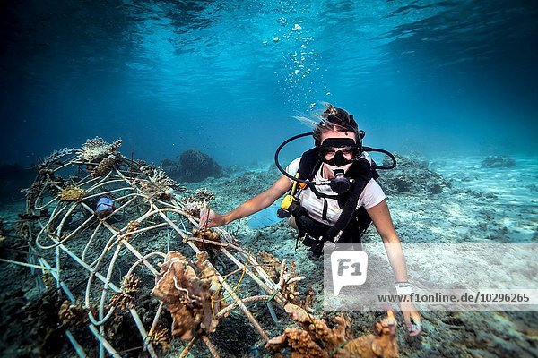 Unterwasser-Ansicht einer Taucherin  die ein Seakrete auf dem Meeresboden fixiert  (künstliches Stahlriff mit elektrischem Strom)  Lombok  Indonesien